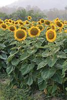 Семена Подсолнечника Пионер PR64A89 (ПР64А89)