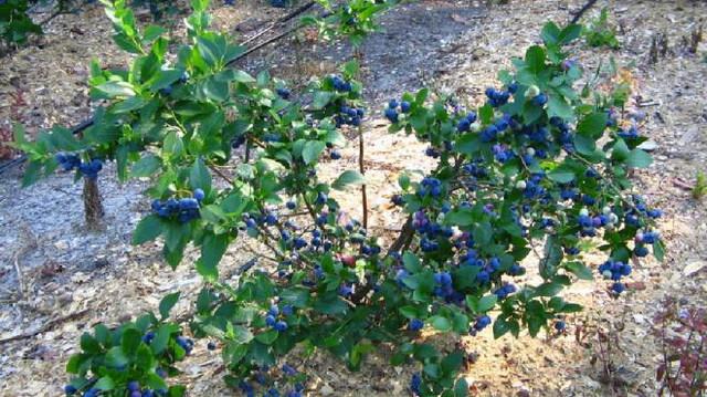 В Украине растут земельные площади под голубикой