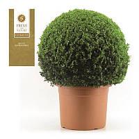 Самшит вечнозеленый -- Buxus sempervirens  P36/H80