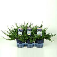 Можжевельник горизонтальный Blue Chip -- Juniperus horizontalis Blue Chip  P15/H25