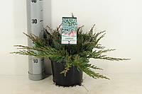 Можжевельник горизонтальный Blue Chip -- Juniperus horizontalis Blue Chip  P19/H30