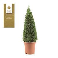 Самшит вечнозеленый -- Buxus sempervirens  P21/H75