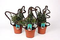 Самшит вечнозеленый -- Buxus sempervirens  P21/H55