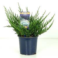 Можжевельник горизонтальный Blue Chip -- Juniperus horizontalis Blue Chip  P23/H35