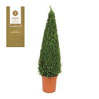 Самшит вечнозеленый -- Buxus sempervirens  P23/H90