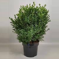 Самшит вечнозеленый -- Buxus sempervirens  P23/H60