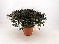 Рододендрон японский (азалия японская) Azalea -- Rhododendron japanese Azalea  P23/H50