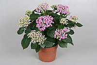 Гортензия крупнолистная (садовая) -- Hydrangea macrophylla   P14/H40