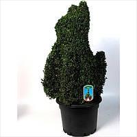 Самшит вечнозеленый -- Buxus sempervirens  P38/H90