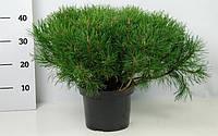 Сосна горная -- Pinus mugo  P23/H45