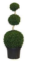 Самшит вечнозеленый -- Buxus sempervirens  P38/H120