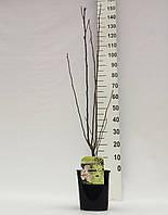 Гибискус сирийский -- Hibiscus syriacus  P21/H60