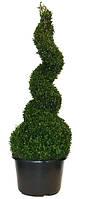 Самшит вечнозеленый -- Buxus sempervirens  P40/H150