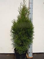 Туя западная Смарагд -- Thuja occidentalis Smaragd  P23/H100