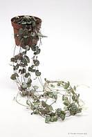 Церопегия Вуда -- Ceropegia Woodii ssp.  P12/H999