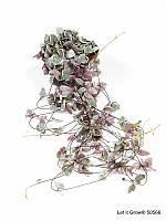 Церопегия Вуда -- Ceropegia Woodii ssp.  P510/H999