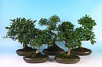 Бонсай микс -- Bonsai mixed  P24/H40