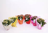 Каланхоэ Блоссфельда Розалина микс -- Kalanchoe blossfeldiana Rosalina mixed  P15/H27