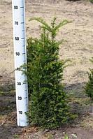 Тис ягодный -- Taxus baccata  P26/H80