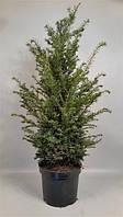 Тис ягодный -- Taxus baccata  P26/H100