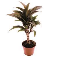Кордилина кустарниковая -- Cordyline fruticosa  P6/H25