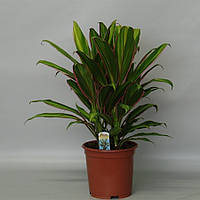 Кордилина кустарниковая Киви -- Cordyline fruticosa Kiwi  P19/H55