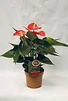 Антуриум андре Матиз -- Anthurium andreanum Matiz  P12/H35
