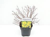 Лапчатка кустарниковая Голдфингер -- Potentilla Goldfinger  P17/H25