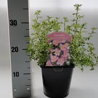Лапчатка (пятилистник) кустарниковая Блинк -- Potentilla Blink  P17/H25