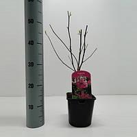 Магнолия Сьюзан -- Magnolia Susan  P17/H35