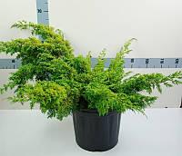 Можжевельник китайский Аурея -- Juniperus chinensis Aurea  P38/H85