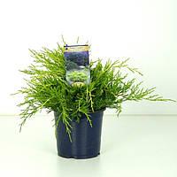 Можжевельник средний Пфитцериана Ауреа -- Juniperus x pfitzeriana Pfitzerian Aurea  P15/H25