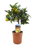 Нагами кумкват -- Fortunella marg.  P15/H45