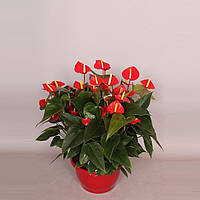 Антуриум Принцесса Ариана красный -- Anthurium Princess Ariane Red  P25/H55