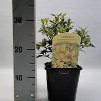 Османтус разнолистный Триколор -- Osmanthus heterophyllus Tricolor  P17/H25