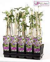Пассифлора Purple Haze -- Passiflora Purple Haze  P15/H65
