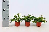 Пеперомия Ангулата -- Peperomia angulata  P7/H10