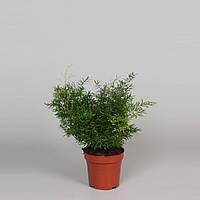 Аспарагус гиб. Cwebe -- Asparagus hyb. Cwebe  P12/H30