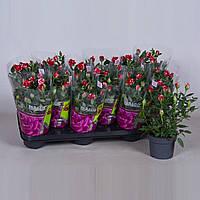 Роза Parade Gigi -- Rose Parade Gigi  P510/H28