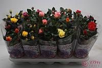 Роза Бомонд микс -- Rose Beau Monde mixed  P12/H28