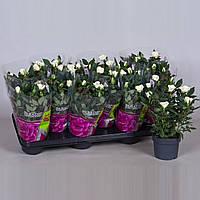 Роза Парад Фрея -- Rose Parade Freja  P510/H28
