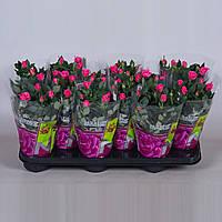 Роза Саки -- Rose Saki  P510/H28