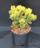 Сосна горная -- Pinus mugo  P23/H25