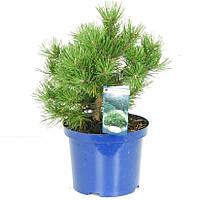 Сосна горная Гном -- Pinus mugo Gnom  P23/H45