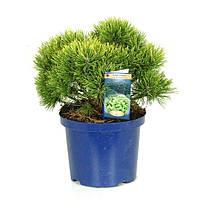 Сосна горная Офир -- Pinus mugo Ophir  P23/H35