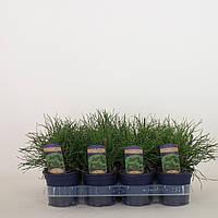 Сосна горная Пумилио -- Pinus mugo Pumilio  P11/H15