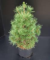 Сосна обыкновенная -- Pinus sylvestris  P28/H60