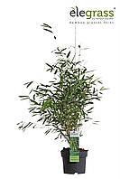 Бамбук Фаргезия блестящая -- Fargesia nitida  P19/H50