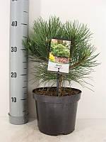 Сосна чёрная Нана -- Pinus nigra Nana  P19/H45