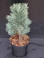 Сосна обыкновенная Фастигиата -- Pinus sylvestris Fastigiata  P26/H80